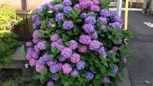自宅前の紫陽花の花