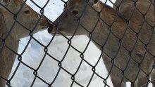 札幌市丸山動物園のシカ