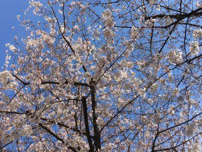 千川通りの桜